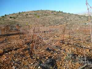 Beit El's Carignan vineyard planted by hand on the side of a rock mountain - close up-small