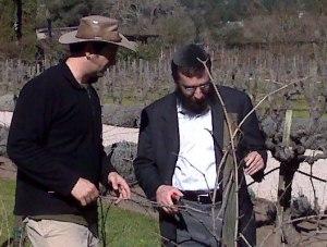 Vineyard pruning Cuvee Chabad 2008
