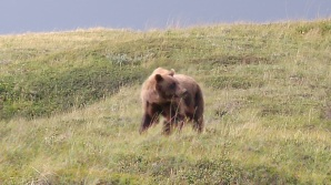 bear in denali