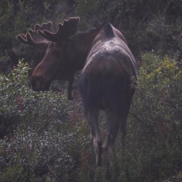 male moose