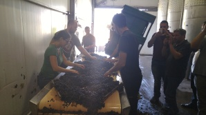 Petit Verdot clusters being sorted at Tzora Vineyards Winery