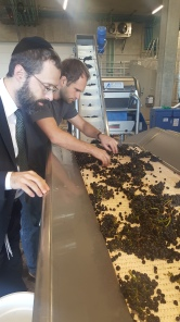 sorting table at Domaine Roy with Rabbi Tzvi Fischer and Jared Etzel (the winemaker)