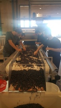 sorting table at Domaine Roy